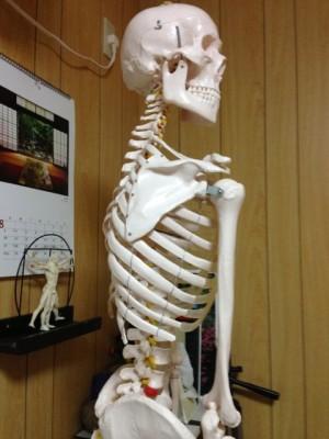 背骨 脊椎 しなり