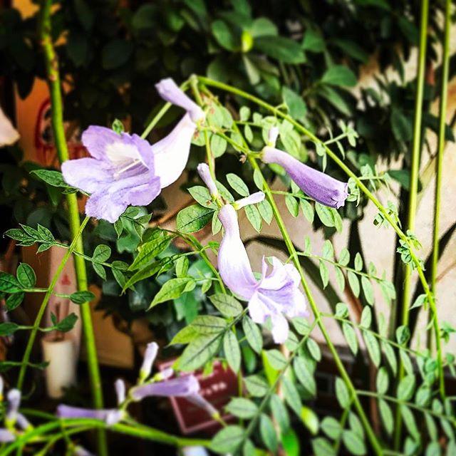 紫雲花 ジャガランダ 開花️見事復活◎